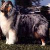 "The beautiful CH Arrowhill Blue Christmas. When bred to CH Kasan Dacin Lone Eagle, ""Merry"" produced the litter that would most influence the Foggy Bay family. AM/CAN CH Rockwood Sterling Silver x Arrowhill Oklahoma Amy"